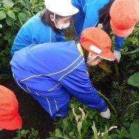 枝豆畑の草取り